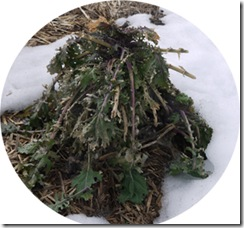 Kale under snow 1