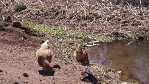 Chickens eating and drinking at one of our watering ponds